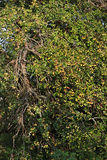 Παλαιό μήλο-δέντρο Στοκ Φωτογραφία