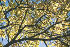 παλαιό μεγάλο δέντρο στο υπόβαθρο χρώματος με το μπλε ουρανό - εκλεκτής ποιότητας ταινία EF Στοκ φωτογραφία με δικαίωμα ελεύθερης χρήσης