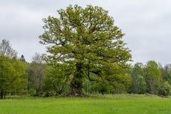 Παλαιό με κόμπους δρύινο δέντρο με τα πράσινα φύλλα άνοιξη στοκ φωτογραφίες