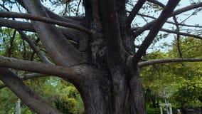 Παλαιό με πολλά κλαδιά πάρκο δέντρων, περιβάλλον φύσης, οικογενειακή σύνδεση, καταγωγή, καταγωγή φιλμ μικρού μήκους