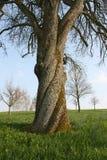 παλαιό ξύλο καρυδιάς δέντρ στοκ εικόνα
