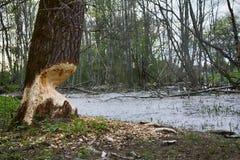 Παλαιό πάρκο, εκατονταετές πάρκο, πεσμένο δέντρο, λίμνη λάσπης Στοκ Εικόνες
