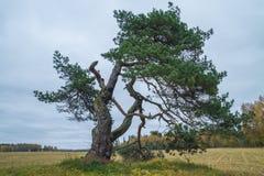 Παλαιό πεύκο-δέντρο στη Λετονία Στοκ φωτογραφία με δικαίωμα ελεύθερης χρήσης