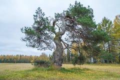 Παλαιό πεύκο-δέντρο στη Λετονία Στοκ Φωτογραφίες