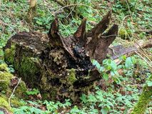 Παλαιό σάπιο δέντρο που lloks όπως ένα Triceratops στοκ εικόνες