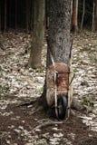 Παλαιό σκουριασμένο Wheelbarrow στη μέση του δάσους Στοκ εικόνα με δικαίωμα ελεύθερης χρήσης