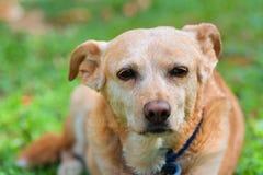 Παλαιό σκυλί πορτρέτου πολύ Στοκ φωτογραφίες με δικαίωμα ελεύθερης χρήσης