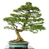 Παλαιό parvifolia Ulmus λευκών δέντρων φυλλώματος ως μπονσάι Στοκ Φωτογραφία