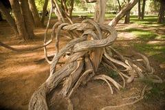 παλαιό wisteria αμπέλων Στοκ Εικόνες
