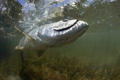 παλεύοντας τάρπον μυγών αλιείας Στοκ φωτογραφίες με δικαίωμα ελεύθερης χρήσης