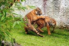 παλεύοντας τίγρες Στοκ Φωτογραφίες