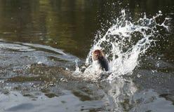 παλεύοντας ύδωρ λούτσων &alp Στοκ Φωτογραφίες
