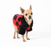 παλτό ladybug στοκ φωτογραφία με δικαίωμα ελεύθερης χρήσης
