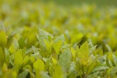 Πανέμορφα φύλλα σε έναν φωτεινό πράσινο του Μπους με τα σταγονίδια πτώσης βροχής στο φύλλο στοκ φωτογραφίες
