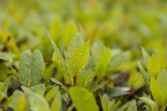 Πανέμορφα φύλλα σε έναν φωτεινό πράσινο του Μπους με τα σταγονίδια πτώσης βροχής στο φύλλο στοκ εικόνες