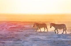 Πανέμορφα zebras που περπατούν στη σκονισμένη αγριότητα Στοκ Εικόνες
