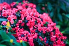 Πανέμορφες begonia εγκαταστάσεις στο καταπληκτικό floral ντεκόρ Στοκ Εικόνες