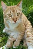 Πανέμορφη πορτοκαλιά γάτα Στοκ Εικόνα