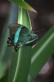 Πανέμορφη σμαραγδένια πεταλούδα Swallowtail την άνοιξη Στοκ Φωτογραφία