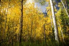 Πανέμορφη φωτεινή δασική σκηνή φθινοπώρου με τα δέντρα πεύκων, aspens, και τα δέντρα σημύδων στοκ φωτογραφία με δικαίωμα ελεύθερης χρήσης