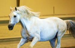 Πανέμορφος άσπρος ανδαλουσιακός ισπανικός επιβήτορας, καταπληκτικό αραβικό άλογο στοκ εικόνες με δικαίωμα ελεύθερης χρήσης