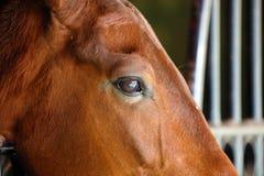 Πανέμορφος ανδαλουσιακός ισπανικός επιβήτορας ματιών αλόγων, καταπληκτικό αραβικό άλογο στοκ φωτογραφίες