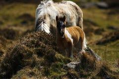 Πανέμορφος λίγο χρωματισμένο παρδαλό πόνι λόφων Dartmoor Στοκ Εικόνες