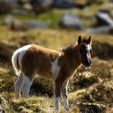 Πανέμορφος λίγο χρωματισμένο παρδαλό πόνι λόφων Dartmoor Στοκ Φωτογραφίες