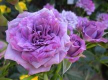 Πανέμορφος πορφυρός αυξήθηκε λουλούδια στοκ εικόνα με δικαίωμα ελεύθερης χρήσης