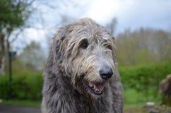 Πανέμορφο ιρλανδικό σκυλί Wolfhound με ένα παχύ ασημένιο παλτό Στοκ Εικόνα