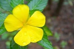 Πανέμορφο κίτρινο λουλούδι που αστράφτει με τις πτώσεις νερού Στοκ Φωτογραφία
