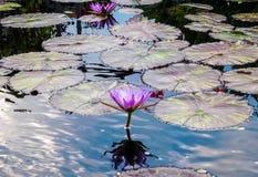 Πανέμορφο λουλούδι Lotus στοκ φωτογραφία