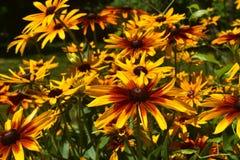 Πανέμορφο μαύρο Eyed Susans που ανθίζει σε έναν κήπο Στοκ εικόνα με δικαίωμα ελεύθερης χρήσης