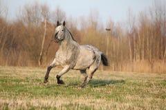Πανέμορφο appaloosa που τρέχει την άνοιξη τη φύση Στοκ φωτογραφίες με δικαίωμα ελεύθερης χρήσης