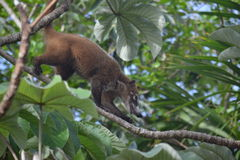 Πανίδα εξωτικό Yucatan ζώων Coati τροπικό Στοκ εικόνες με δικαίωμα ελεύθερης χρήσης