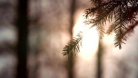 Πανοραμική άποψη ηλιοβασιλέματος της μαγικής δασικής σκηνής με το παιχνίδι του ήλιου μέσω του κλάδου πεύκων Υπόβαθρο φύσης Cinema απόθεμα βίντεο
