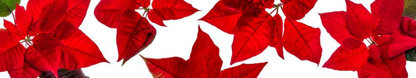 Πανοραμική άποψη της άδειας poinsettia στοκ εικόνα με δικαίωμα ελεύθερης χρήσης