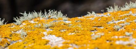 Πανοραμική άποψη της κίτρινης ανάπτυξης λειχήνων για τη βοτανική παλέτα χρώματος Στοκ Εικόνες