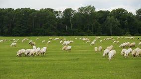 Πανοραμική άποψη του μεγάλου καλλιεργήσιμου εδάφους, βοσκή βοοειδών στο πράσινο λιβάδι, καλλιέργεια φιλμ μικρού μήκους
