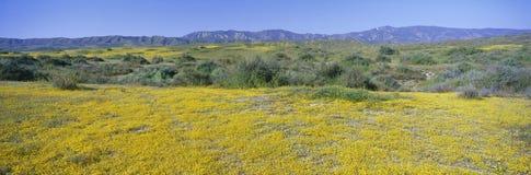 Πανοραμική άποψη των χρυσών κίτρινων λουλουδιών ερήμων Carrizo στο σαφές εθνικό μνημείο, κομητεία του San Luis Obispo, Καλιφόρνια Στοκ Φωτογραφία