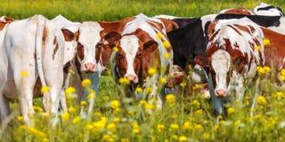 Πανοραμική εικόνα των ολλανδικών γαλακτοκομικών αγελάδων το καλοκαίρι Στοκ φωτογραφία με δικαίωμα ελεύθερης χρήσης