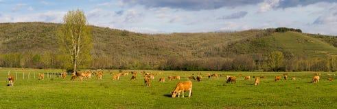 Πανοραμική φωτογραφία των καφετιών αγελάδων, που βόσκει στο πράσινο λιβάδι Στοκ φωτογραφία με δικαίωμα ελεύθερης χρήσης