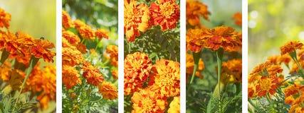Πανοραμικό σύνολο marigolds υποβάθρου εμβλημάτων Στοκ φωτογραφία με δικαίωμα ελεύθερης χρήσης