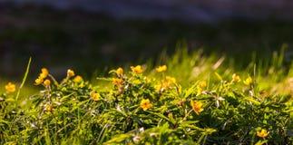 Πανοραμικό υπόβαθρο Anemone ranunculoides Στοκ εικόνα με δικαίωμα ελεύθερης χρήσης