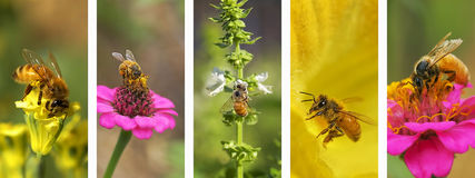 Πανοραμικό υπόβαθρο montage μελισσών φύσης Στοκ Φωτογραφίες