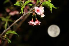 Πανσέληνος και άνθος κερασιών νύχτας Στοκ εικόνες με δικαίωμα ελεύθερης χρήσης