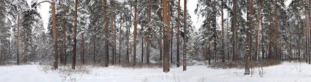 Πανόραμα δάσους χειμερινών του χιονισμένου πεύκων Στοκ Εικόνες