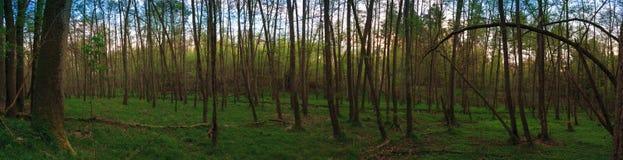 Πανόραμα ενός δάσους στους υγρότοπους Στοκ εικόνα με δικαίωμα ελεύθερης χρήσης