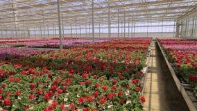 Πανόραμα ενός μεγάλου σύγχρονου θερμοκηπίου Μεγάλο φωτεινό θερμοκήπιο με μια διαφανή στέγη και ανθίζοντας λουλούδια φιλμ μικρού μήκους