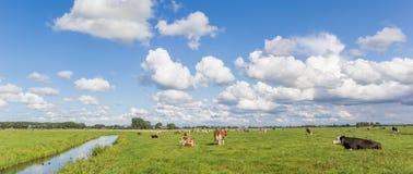 Πανόραμα ενός ολλανδικού τοπίου με τις αγελάδες κοντά στο Γκρόνινγκεν Στοκ φωτογραφία με δικαίωμα ελεύθερης χρήσης